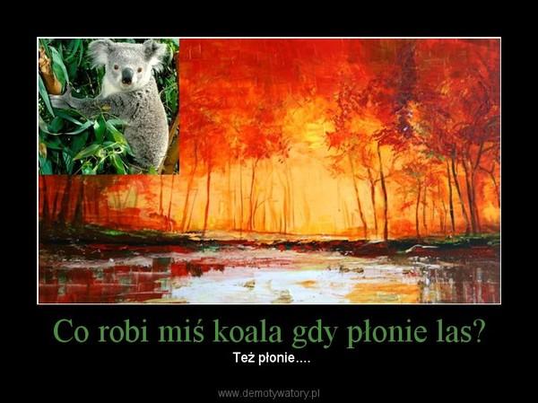 Co robi miś koala gdy płonie las? –  Też płonie....