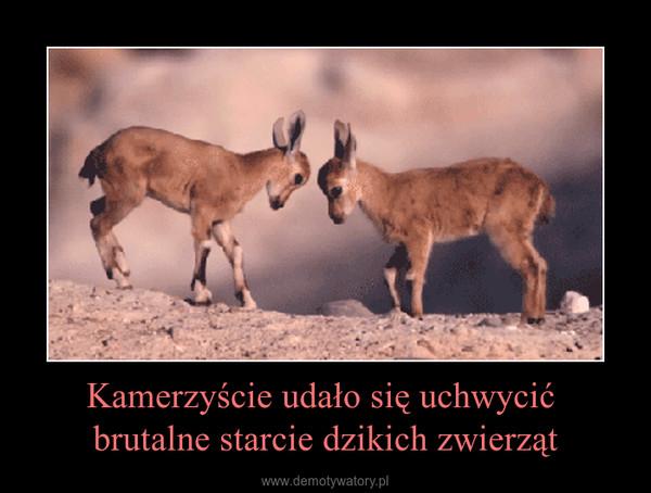 Kamerzyście udało się uchwycić brutalne starcie dzikich zwierząt –