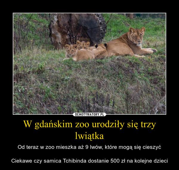 W gdańskim zoo urodziły się trzy lwiątka – Od teraz w zoo mieszka aż 9 lwów, które mogą się cieszyćCiekawe czy samica Tchibinda dostanie 500 zł na kolejne dzieci
