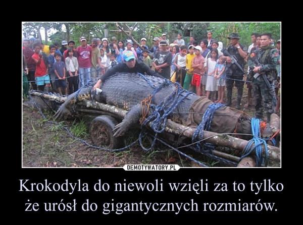 Krokodyla do niewoli wzięli za to tylko że urósł do gigantycznych rozmiarów. –