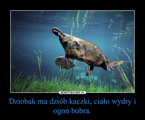 Dziobak ma dziób kaczki, ciało wydry i ogon bobra. –