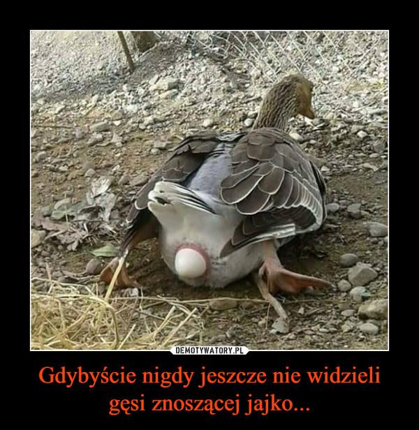 Gdybyście nigdy jeszcze nie widzieli gęsi znoszącej jajko... –