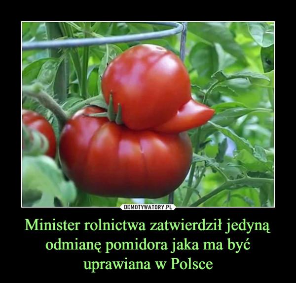 Minister rolnictwa zatwierdził jedyną odmianę pomidora jaka ma być uprawiana w Polsce –