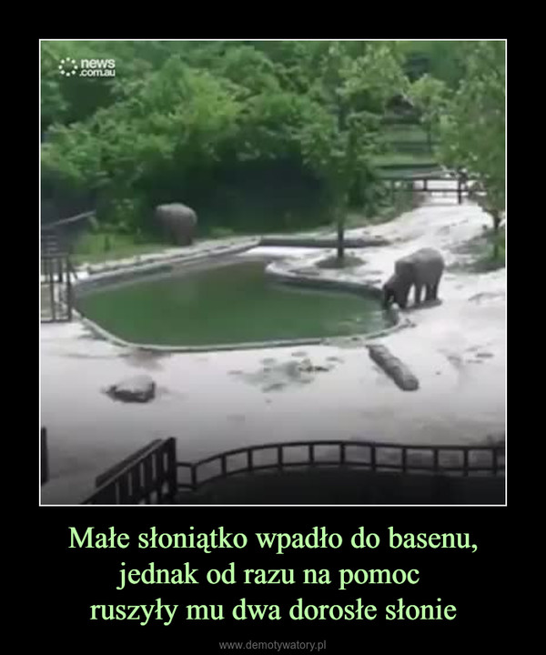 Małe słoniątko wpadło do basenu, jednak od razu na pomoc ruszyły mu dwa dorosłe słonie –