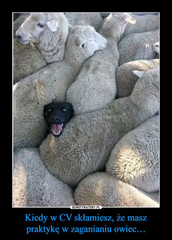 Kiedy w CV skłamiesz, że masz praktykę w zaganianiu owiec… –
