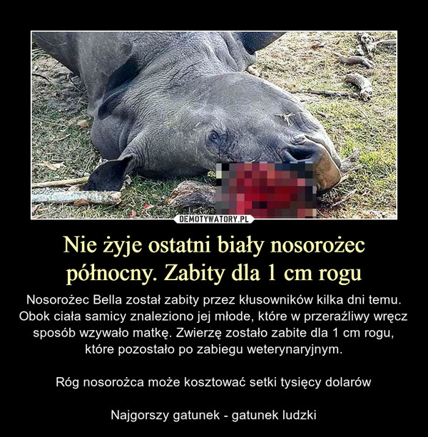 Nie żyje ostatni biały nosorożec północny. Zabity dla 1 cm rogu – Nosorożec Bella został zabity przez kłusowników kilka dni temu. Obok ciała samicy znaleziono jej młode, które w przeraźliwy wręcz sposób wzywało matkę. Zwierzę zostało zabite dla 1 cm rogu, które pozostało po zabiegu weterynaryjnym.Róg nosorożca może kosztować setki tysięcy dolarówNajgorszy gatunek - gatunek ludzki