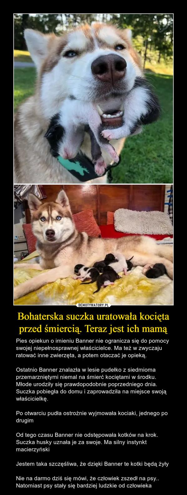 Bohaterska suczka uratowała kocięta przed śmiercią. Teraz jest ich mamą – Pies opiekun o imieniu Banner nie ogranicza się do pomocy swojej niepełnosprawnej właścicielce. Ma też w zwyczaju ratować inne zwierzęta, a potem otaczać je opieką.Ostatnio Banner znalazła w lesie pudełko z siedmioma przemarzniętymi niemal na śmierć kociętami w środku. Młode urodziły się prawdopodobnie poprzedniego dnia. Suczka pobiegła do domu i zaprowadziła na miejsce swoją właścicielkę.Po otwarciu pudła ostrożnie wyjmowała kociaki, jednego po drugimOd tego czasu Banner nie odstępowała kotków na krok. Suczka husky uznała je za swoje. Ma silny instynkt macierzyńskiJestem taka szczęśliwa, że dzięki Banner te kotki będą żyłyNie na darmo dziś się mówi, że człowiek zszedł na psy.. Natomiast psy stały się bardziej ludzkie od człowieka