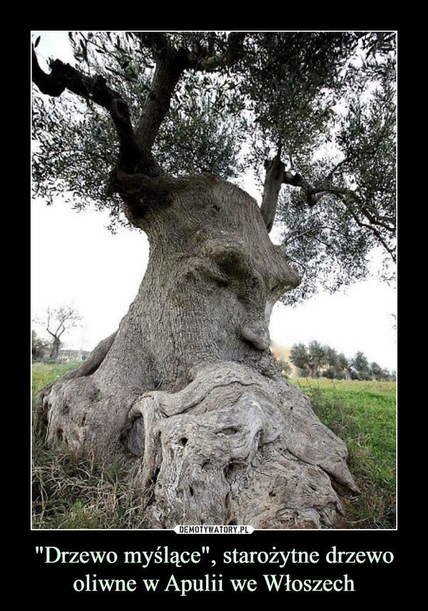 """""""Drzewo myślące"""", starożytne drzewo oliwne w Apulii we Włoszech –"""