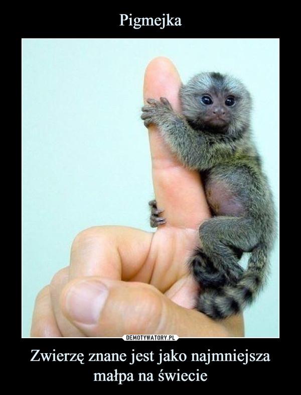 Zwierzę znane jest jako najmniejsza małpa na świecie –