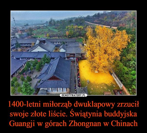 1400-letni miłorząb dwuklapowy zrzucił swoje złote liście. Świątynia buddyjska Guangji w górach Zhongnan w Chinach –