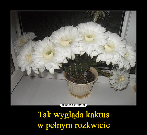 Tak wygląda kaktusw pełnym rozkwicie –