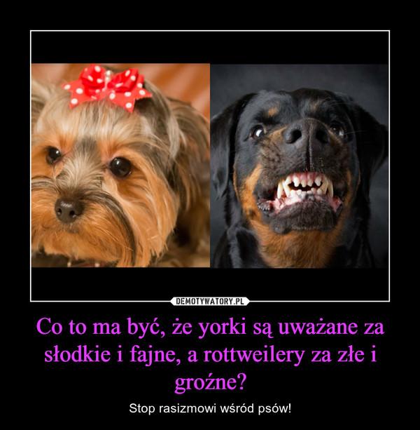 Co to ma być, że yorki są uważane za słodkie i fajne, a rottweilery za złe i groźne? – Stop rasizmowi wśród psów!