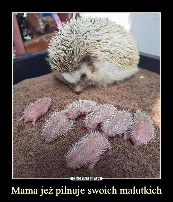 Mama jeż pilnuje swoich malutkich –