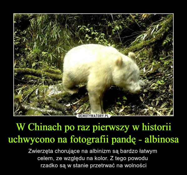 W Chinach po raz pierwszy w historii uchwycono na fotografii pandę - albinosa – Zwierzęta chorujące na albinizm są bardzo łatwym celem, ze względu na kolor. Z tego powodu rzadko są w stanie przetrwać na wolności