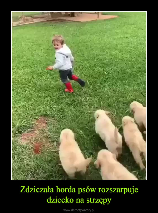 Zdziczała horda psów rozszarpuje dziecko na strzępy –