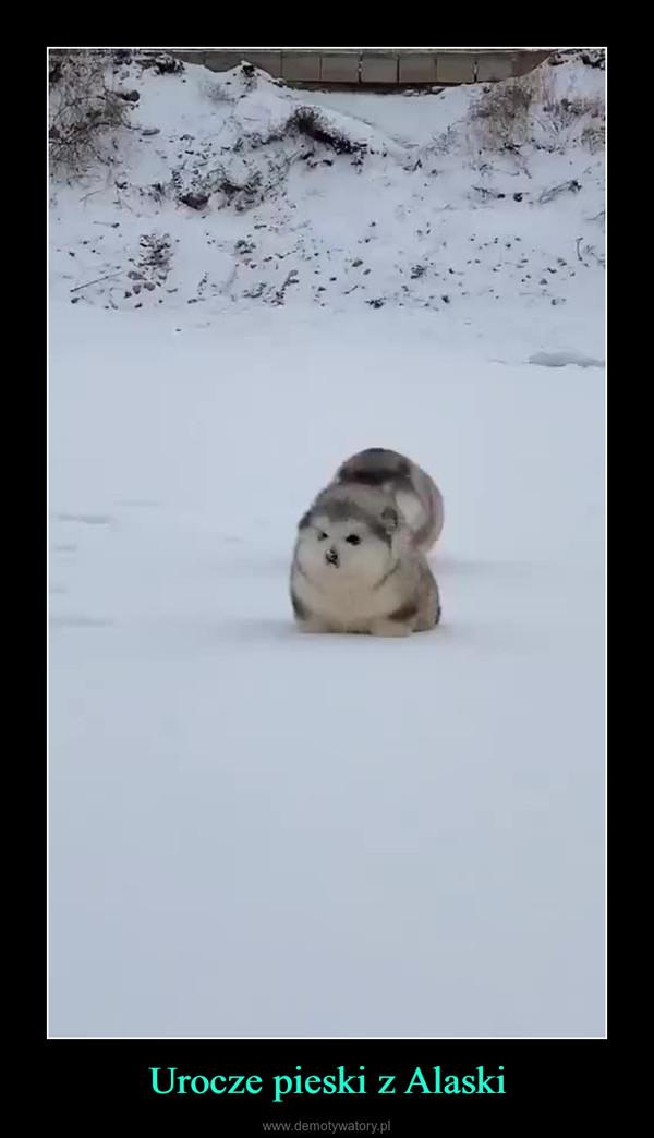 Urocze pieski z Alaski –