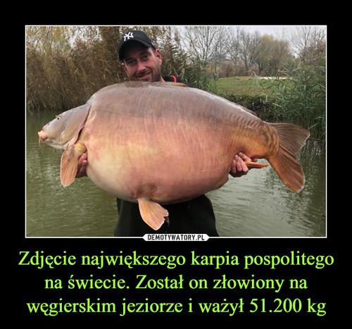 Zdjęcie największego karpia pospolitego na świecie. Został on złowiony na węgierskim jeziorze i ważył 51.200 kg