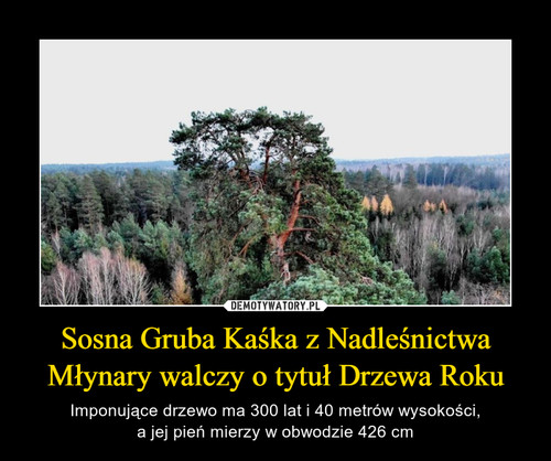 Sosna Gruba Kaśka z Nadleśnictwa Młynary walczy o tytuł Drzewa Roku