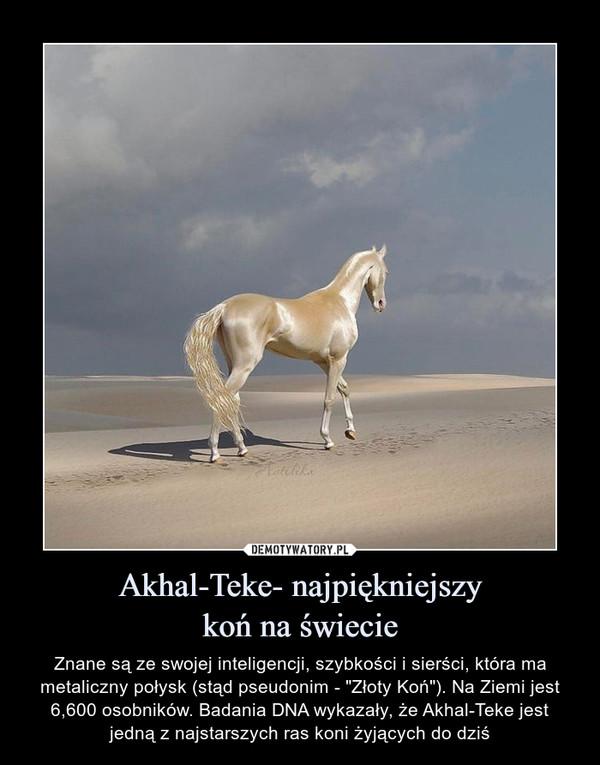 Akhal-Teke- najpiękniejszy koń na świecie