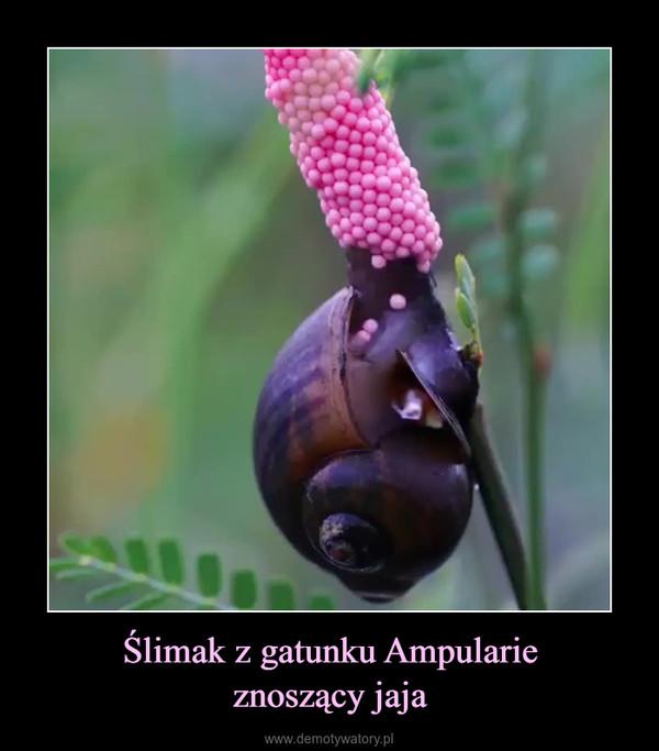 Ślimak z gatunku Ampularieznoszący jaja –