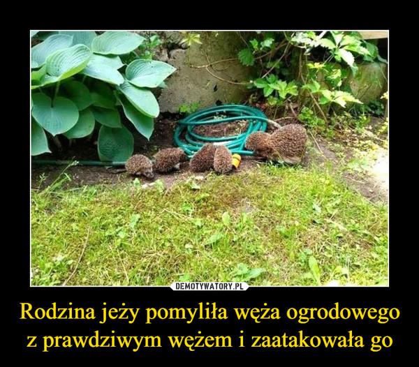 Rodzina jeży pomyliła węża ogrodowego z prawdziwym wężem i zaatakowała go –