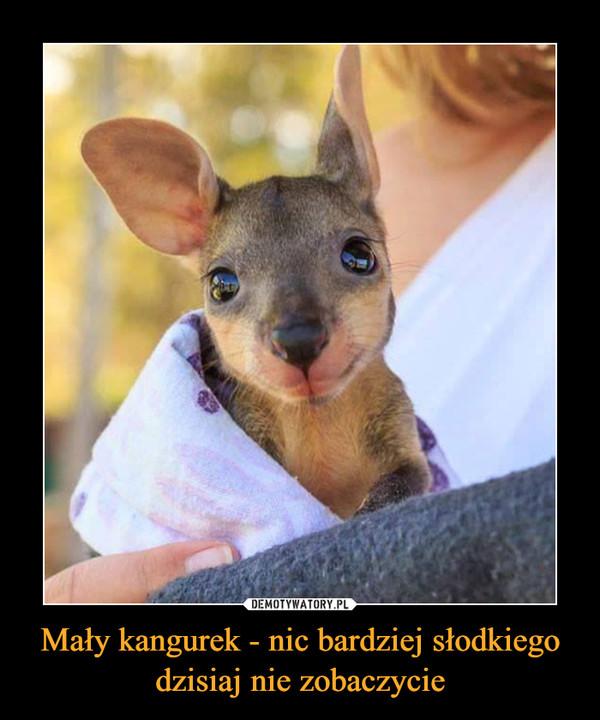 Mały kangurek - nic bardziej słodkiego dzisiaj nie zobaczycie –