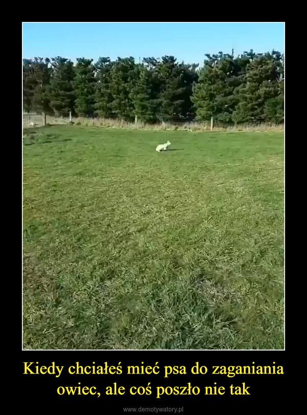 Kiedy chciałeś mieć psa do zaganiania owiec, ale coś poszło nie tak –