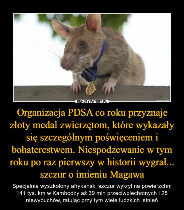 Organizacja PDSA co roku przyznaje złoty medal zwierzętom, które wykazały się szczególnym poświęceniem i bohaterestwem. Niespodzewanie w tym roku po raz pierwszy w historii wygrał... szczur o imieniu Magawa – Specjalnie wyszkolony afrykański szczur wykrył na powierzchni 141 tys. km w Kambodży aż 39 min przeciwpiechotnych i 28 niewybuchów, ratując przy tym wiele ludzkich istnień