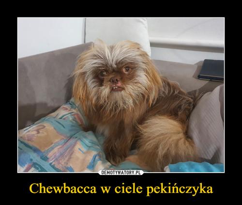 Chewbacca w ciele pekińczyka