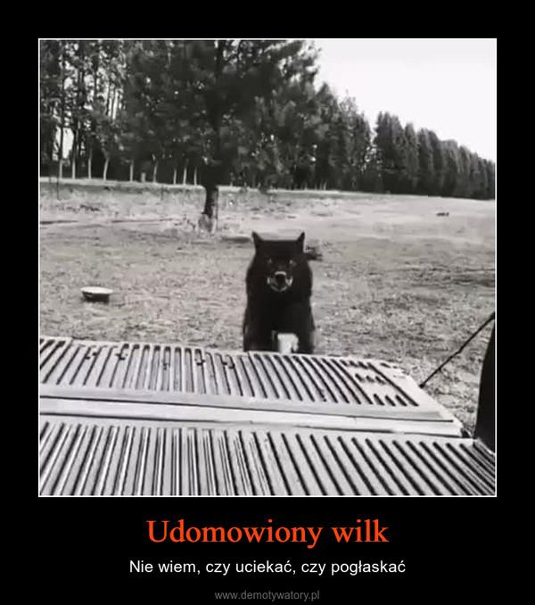 Udomowiony wilk – Nie wiem, czy uciekać, czy pogłaskać