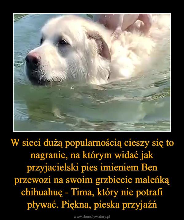 W sieci dużą popularnością cieszy się to nagranie, na którym widać jak przyjacielski pies imieniem Ben przewozi na swoim grzbiecie maleńką chihuahuę - Tima, który nie potrafi pływać. Piękna, pieska przyjaźń –