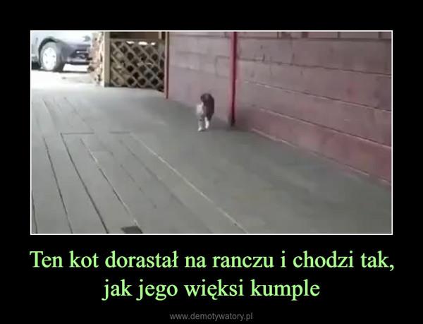 Ten kot dorastał na ranczu i chodzi tak, jak jego więksi kumple –
