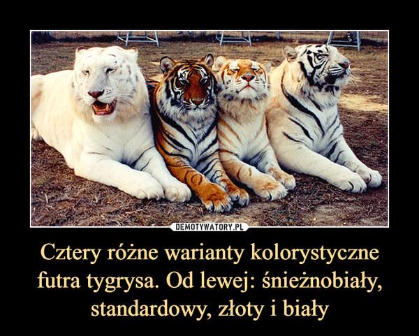 Cztery różne warianty kolorystyczne futra tygrysa. Od lewej: śnieżnobiały, standardowy, złoty i biały –