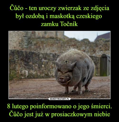 Čůčo - ten uroczy zwierzak ze zdjęcia był ozdobą i maskotką czeskiego  zamku Točník 8 lutego poinformowano o jego śmierci. Čůčo jest już w prosiaczkowym niebie