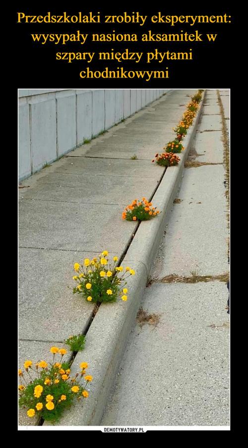Przedszkolaki zrobiły eksperyment: wysypały nasiona aksamitek w szpary między płytami chodnikowymi