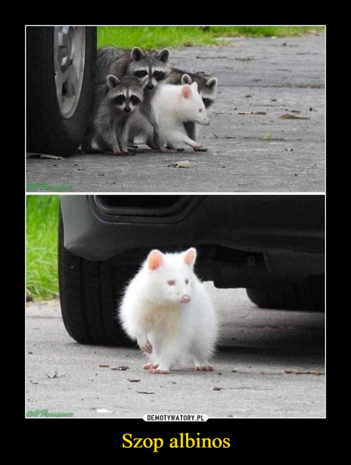 Szop albinos
