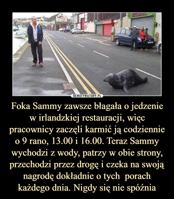 Foka Sammy zawsze błagała o jedzenie w irlandzkiej restauracji, więc pracownicy zaczęli karmić ją codziennie o 9 rano, 13.00 i 16.00. Teraz Sammy wychodzi z wody, patrzy w obie strony, przechodzi przez drogę i czeka na swoją nagrodę dokładnie o tych  porach każdego dnia. Nigdy się nie spóźnia –