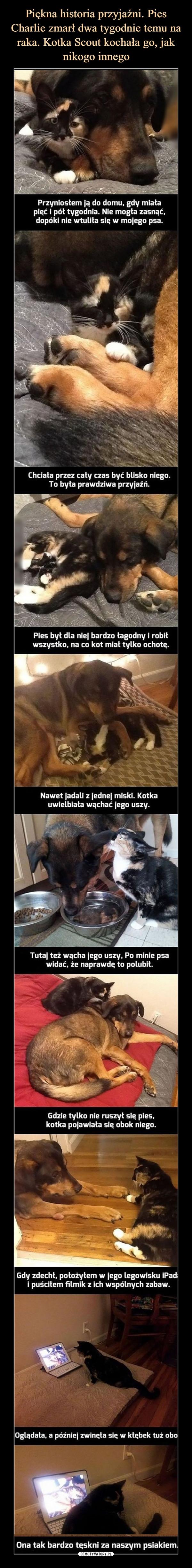 """–  Przyniosłem ją do domu, gdy miała pięć i pół tygodnia. Nie mogła zasnąć, dopóki nie wtuliła się w mojego psa. Chciała przez cały czas być blisko niego. To była prawdziwa przyjaźń. Pies był dla niej bardzo łagodny i robił wszystko, na co kot miał tylko ochotę. Nawet jadali z jednej miski. Kotka uwielbiała wąchać jego uszy. Tutaj też wącha jego uszy, Po minie psa widać, że naprawdę to polubił. Gdzie tylko nie ruszył się pies, kotka pojawiała się obok niego. """"firkst--:; slaseia. """"Illingle e _. S """"IĄ,14. 1 Gdy zdechł, położyłem w jego legowisku iPad i puściłem filmik z ich wspólnych zabaw. Oglądała, a później zwinęła się w kłębek tuż obo Ona tak bardzo tęskni za naszym psiakiem"""