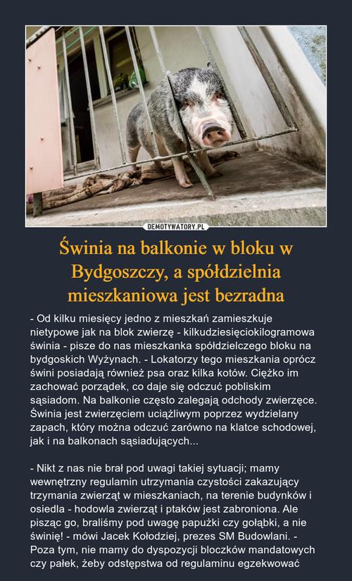 Świnia na balkonie w bloku w Bydgoszczy, a spółdzielnia mieszkaniowa jest bezradna