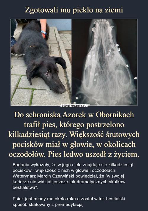 Zgotowali mu piekło na ziemi Do schroniska Azorek w Obornikach trafił pies, którego postrzelono kilkadziesiąt razy. Większość śrutowych pocisków miał w głowie, w okolicach oczodołów. Pies ledwo uszedł z życiem.