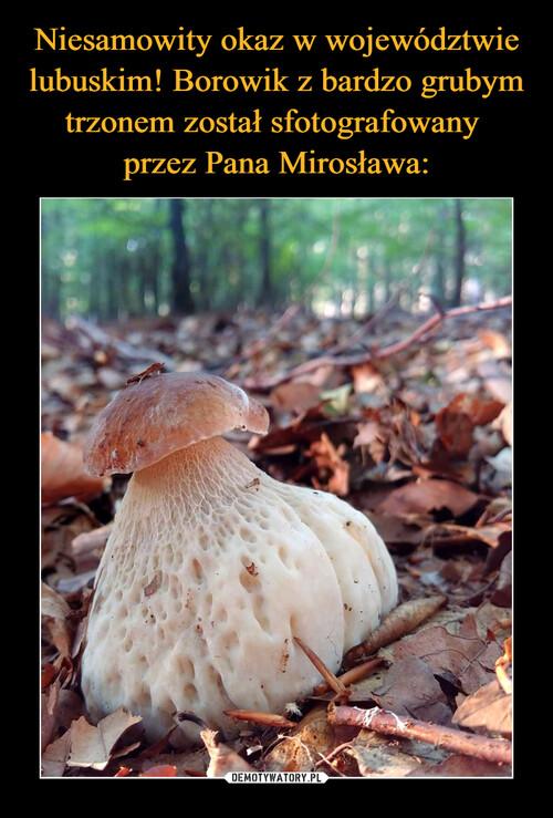 Niesamowity okaz w województwie lubuskim! Borowik z bardzo grubym trzonem został sfotografowany  przez Pana Mirosława: