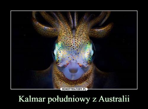 Kalmar południowy z Australii